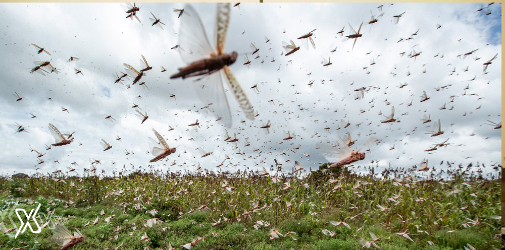 Locusts swarm attack is spreading across Saudi Arabia very quickly. Areas like Al Hail, Qassim, and eastern province have already seen the spread. More details below.