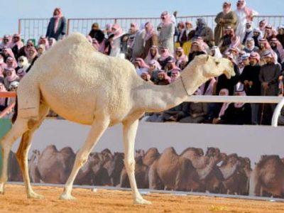 King Abdul Aziz Camel Festival Riyadh